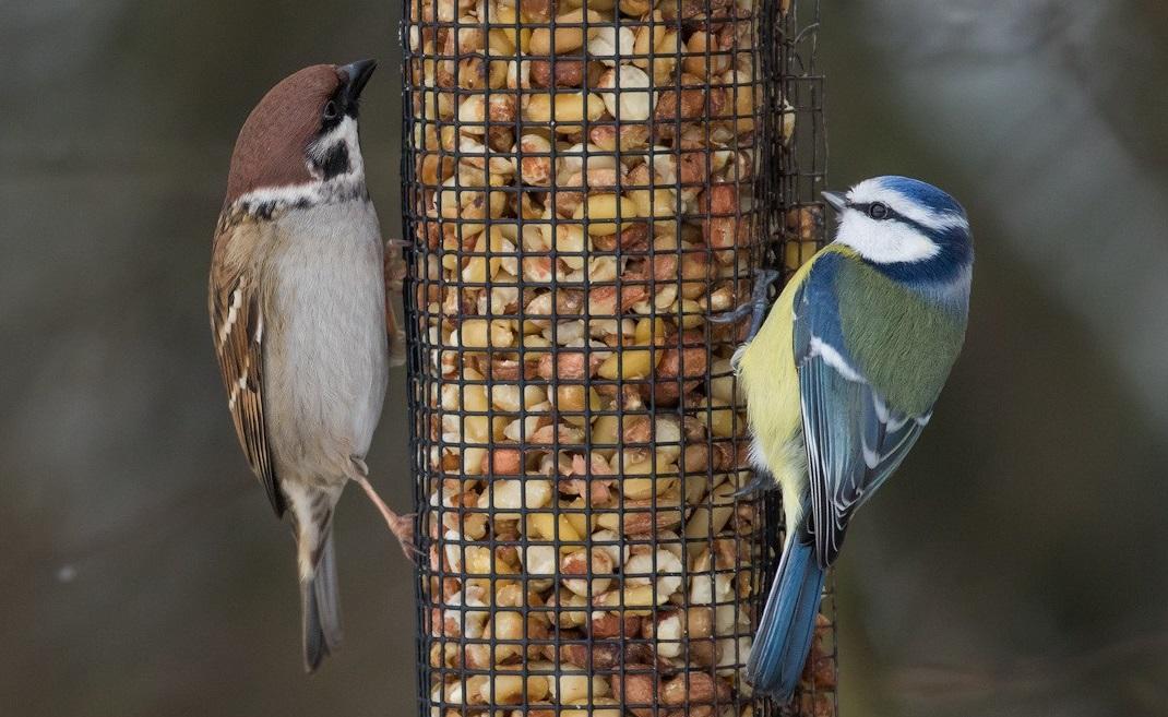 Pikkuvarpunen ja sinitiainen. Kuva: Petri Vainio