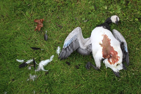 Koiran tappama valkoposkihanhen poikanen, kuva: Christa Granroth.