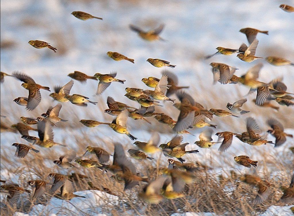 Keltasirkkuja ja pikkuvarpusia. Kuva: Micha Fager