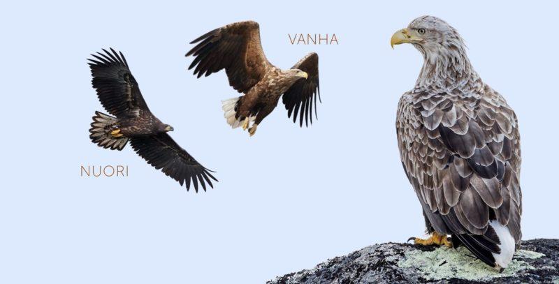 Merikotka. Kuvat: Micha Fager ja Petri Vainio