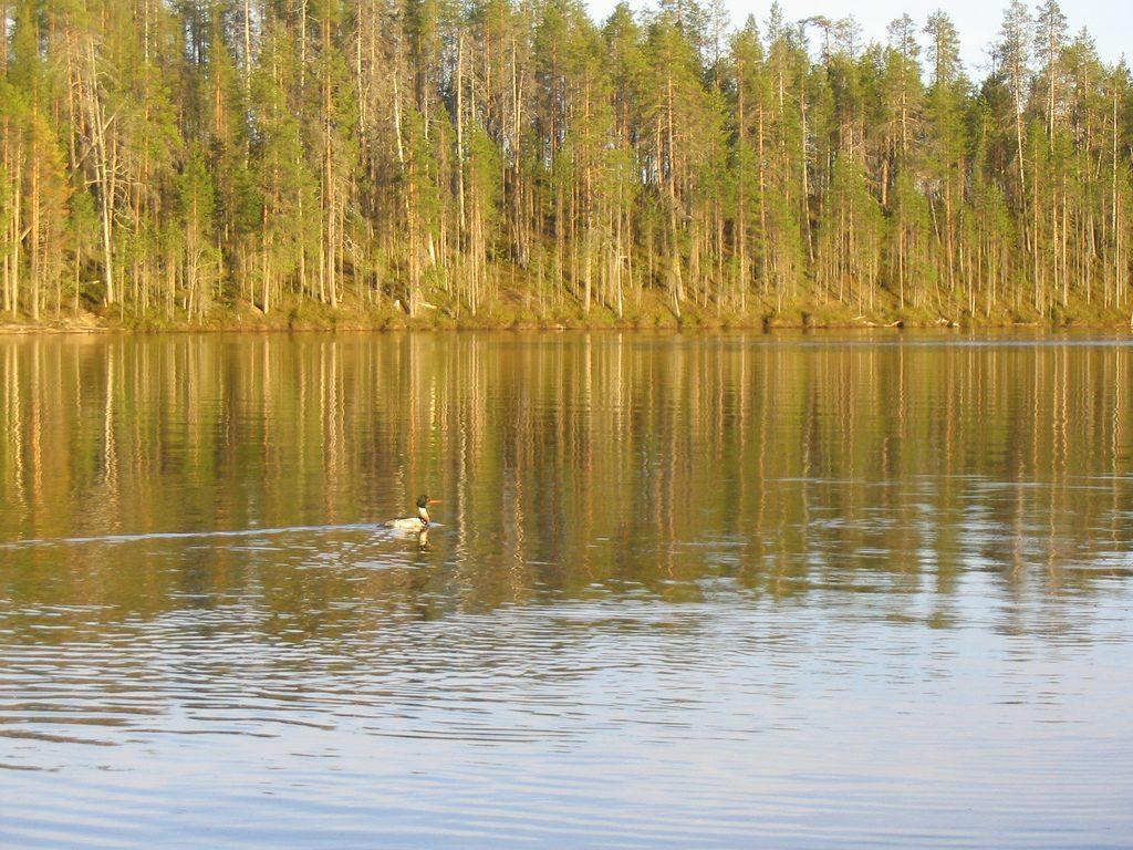 Tukkakoskelo, Hossa, Suomussalmi. Kuva: Aleksi Stenberg / CC BY