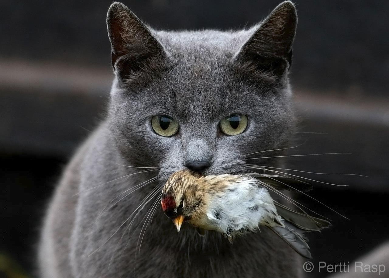 Kissa ja urpiainen. Kuva: Pertti Rasp