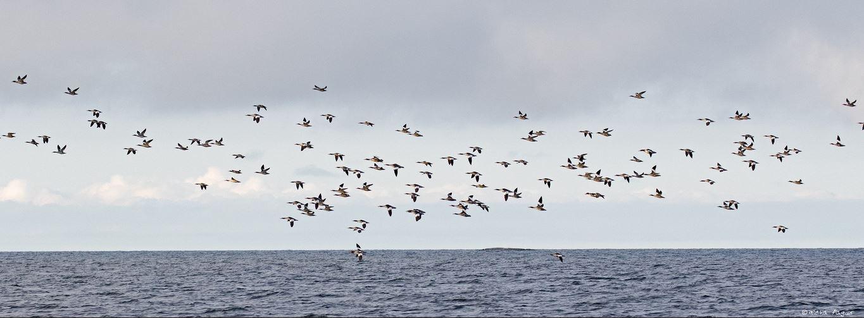 Isokoskeloita. Kuva: Micha Fager