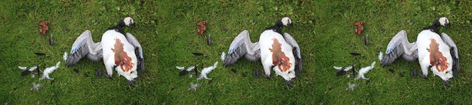 Vapaaksi päästetyn koiran tappama keskenkasvuinen valkoposkihanhi, kuva: Christa Granroth.