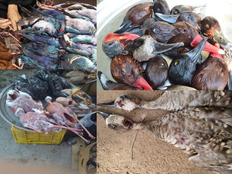 Laittoman lintupyynnin saalista Etelä-Iranissa, saaliissa mm. maailmanlaajuisesti uhanalaisia marmorisorsia ja punasotkia.