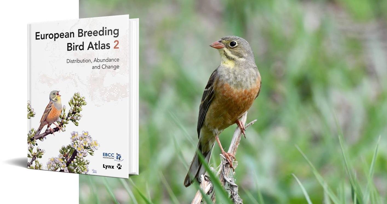 European Breeding Bird Atlas 2 (peltosirkku, kuva: Tuomas Seimola)