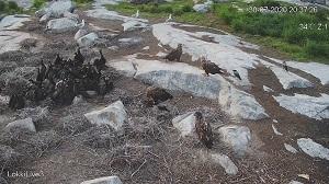 Merikotkat söivät merimetson poikasia lokkisaaren lintulivessä 30.7.2020